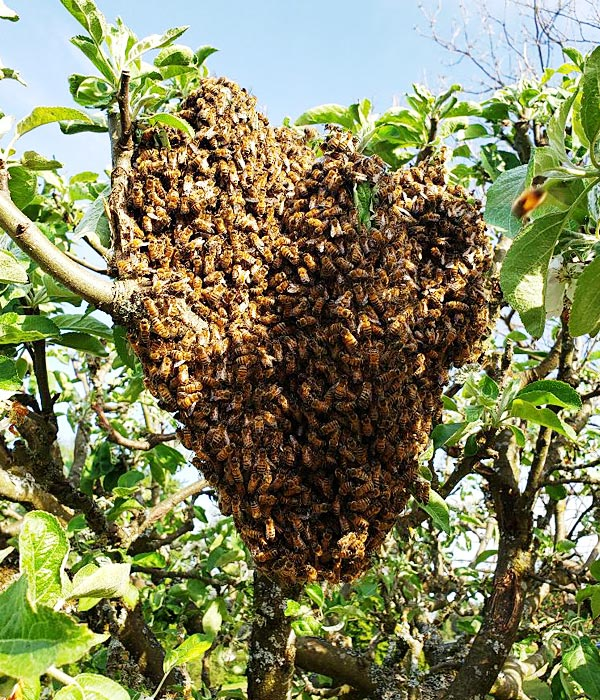Bee Swarm catching