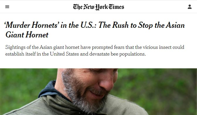 'Murder Hornets' in the U.S.: The Rush to Stop the Asian Giant Hornet