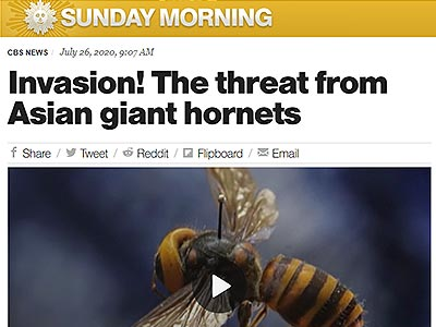 Invasion! The threat from Asian giant hornets