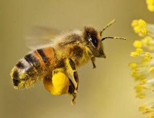 Honey - Pollen