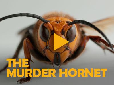 The Murder Hornet